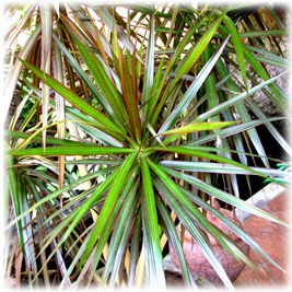how to grow dracena from cuttings