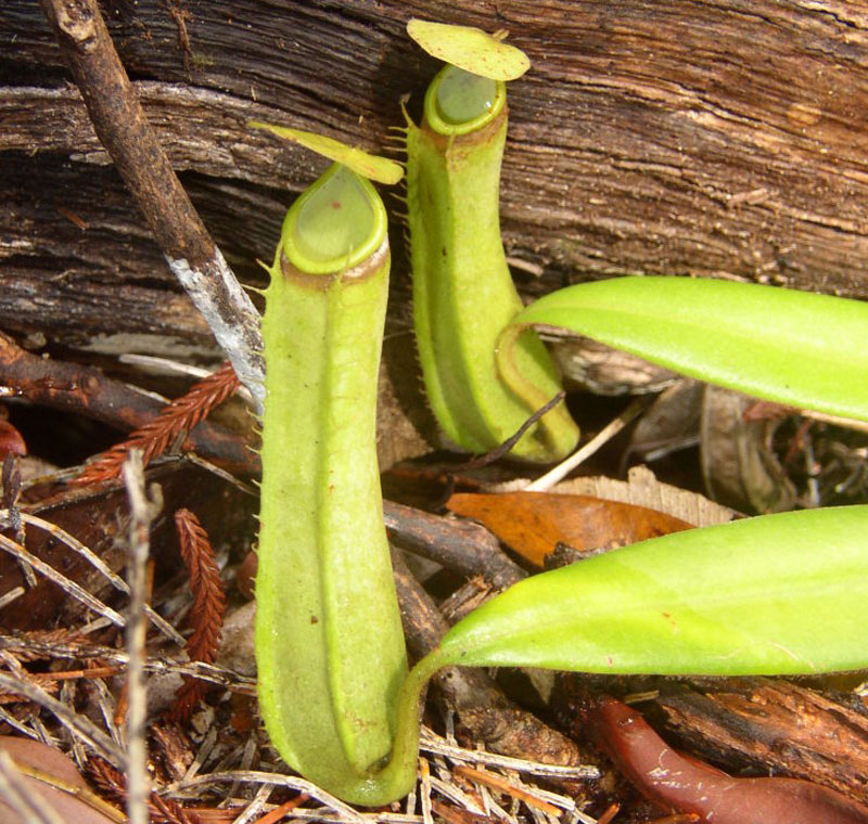 White-Collared Pitcher-Plant, Nepenthes albomarginata