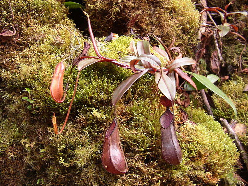Nepenthes Pitcher Plant Care Nepenthes Pitcher Plant