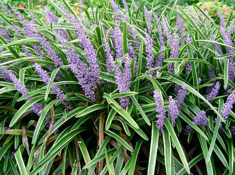 Liriope muscari for Common ornamental grasses