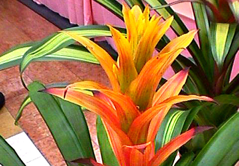 Guzmania Butterscotch