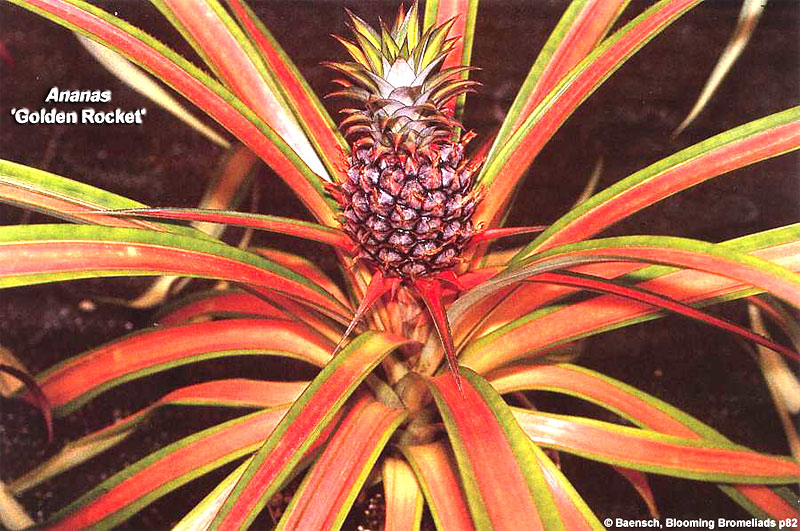 "Ananas comosus "" Golden Rocket"""