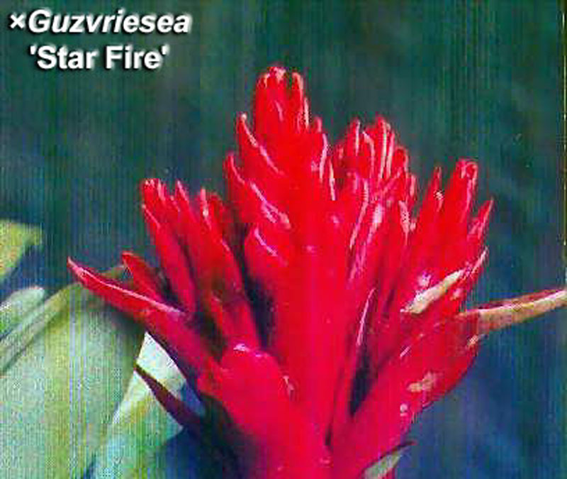 Xguzvriesea star fire