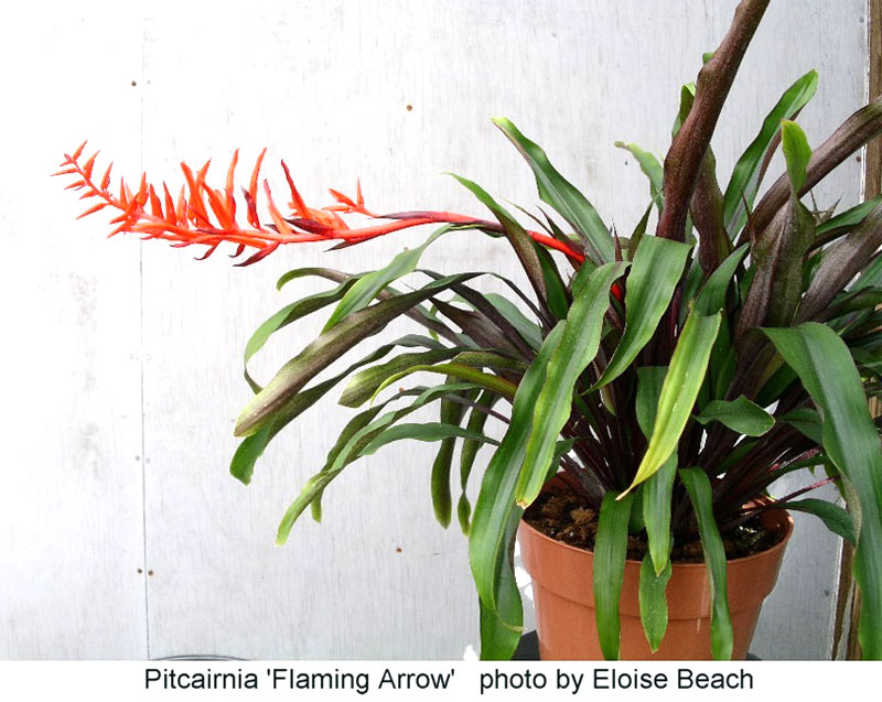 Pitcairnia Fleeming Arrow