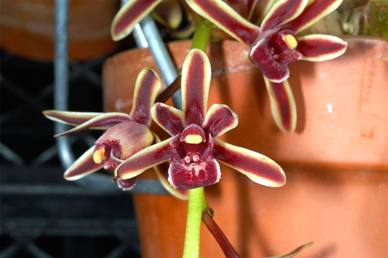 Two-Colored Cymbidium , Cymbidium bicolor