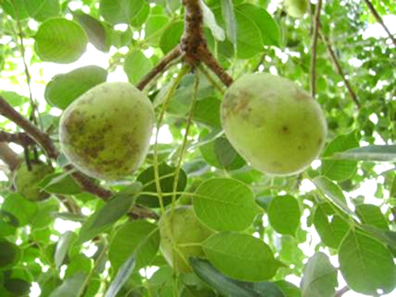 bear fruit marula fruit