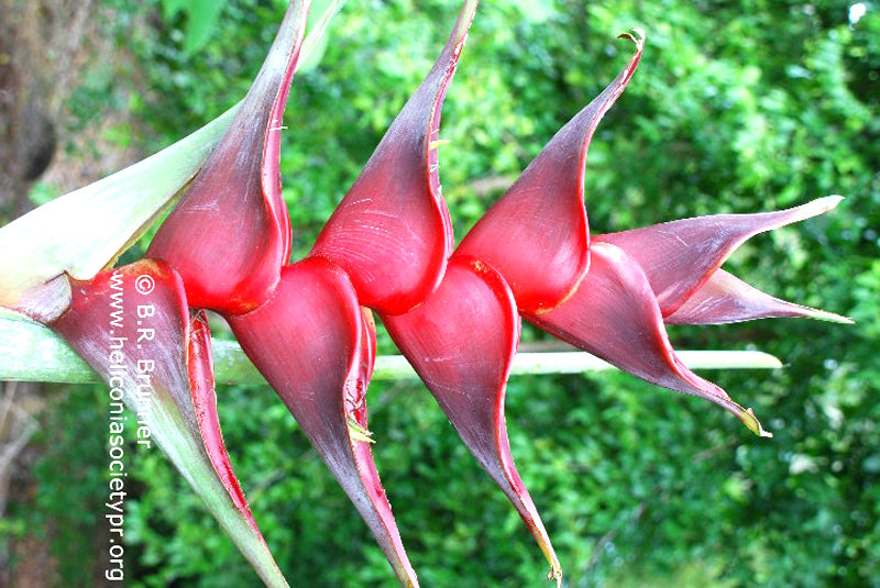 Heliconia caribaea 'Canaries Giant'