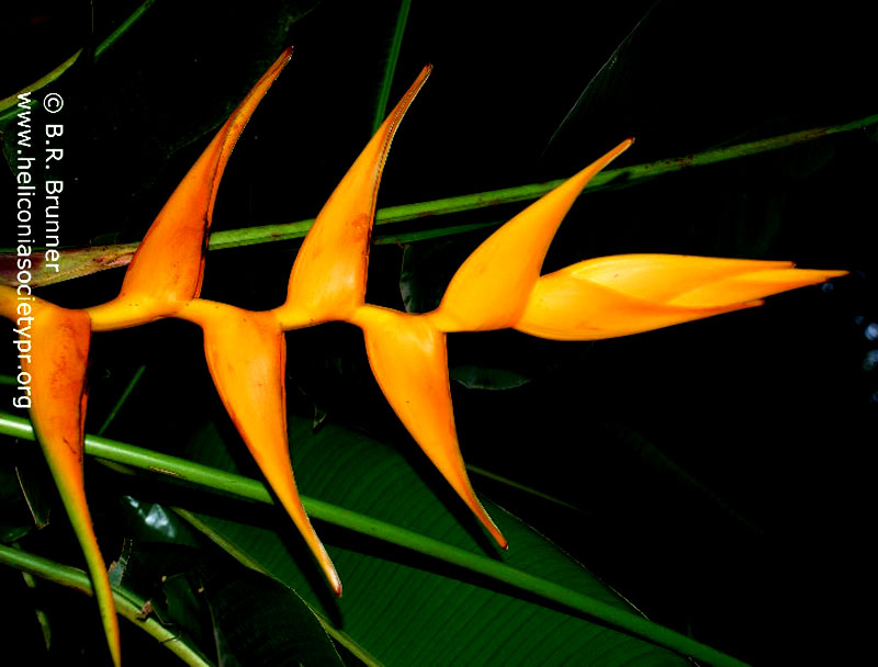 Tropical garden plants - Http Www Heliconiasocietypr Org Heliconia Cultivars1 Htm