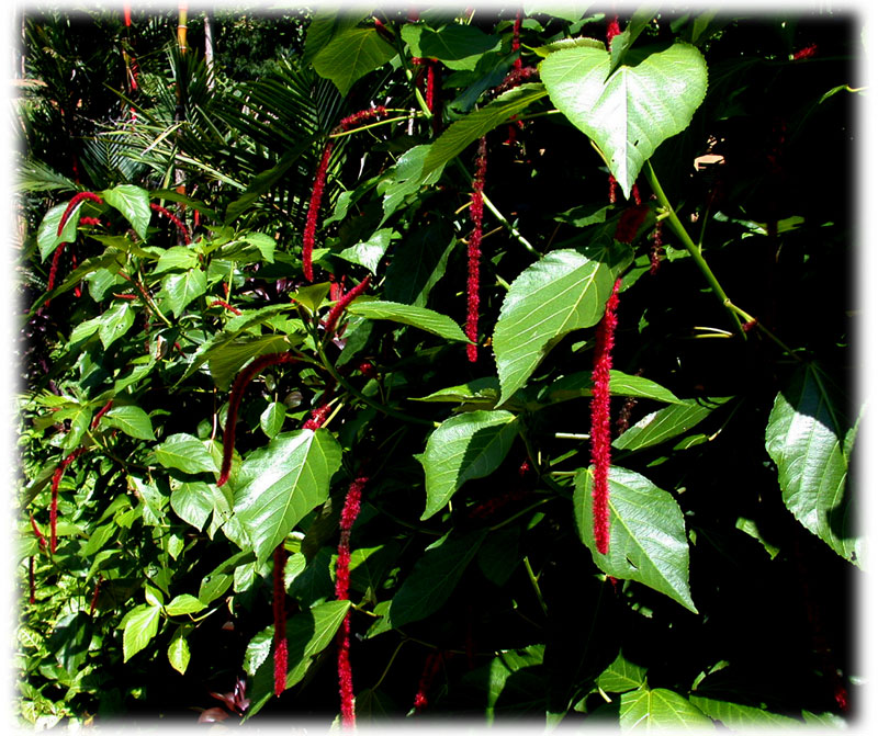 Acalypha hispida, Red cat tales, Euphorbiaceae, Ekor kucing