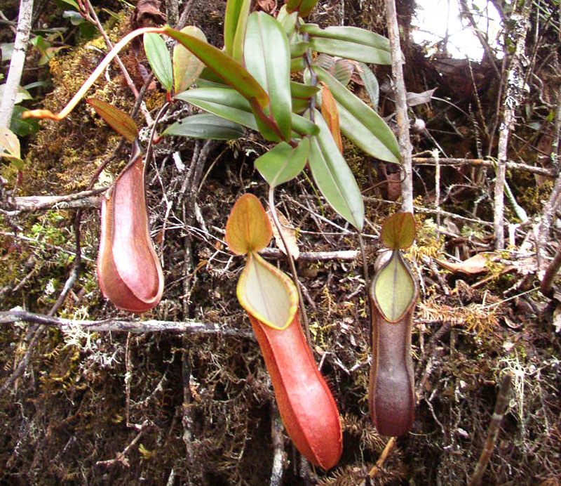 Fringed Pitcher-Plant, Nepenthes tentaculata