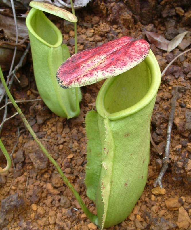 Nepenthes neoguineensis