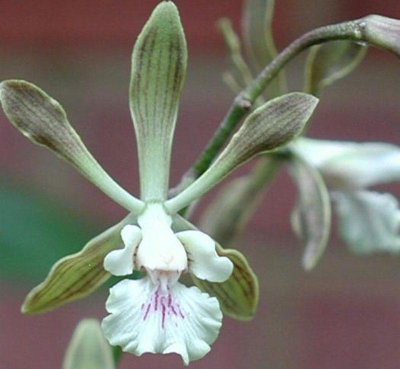 Withner's Encyclia, Encyclia withneri