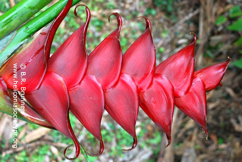 Heliconia caribaea 'Prince of Darkness'